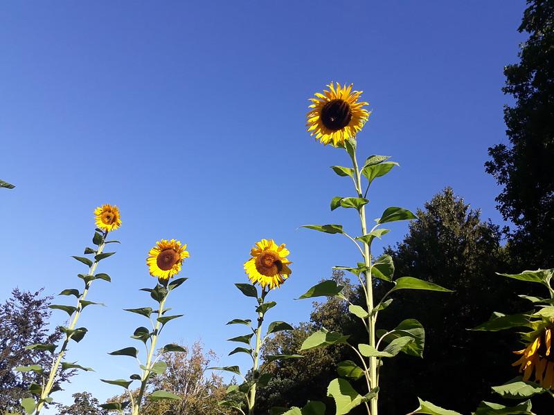 Bonnevaux sunflowers